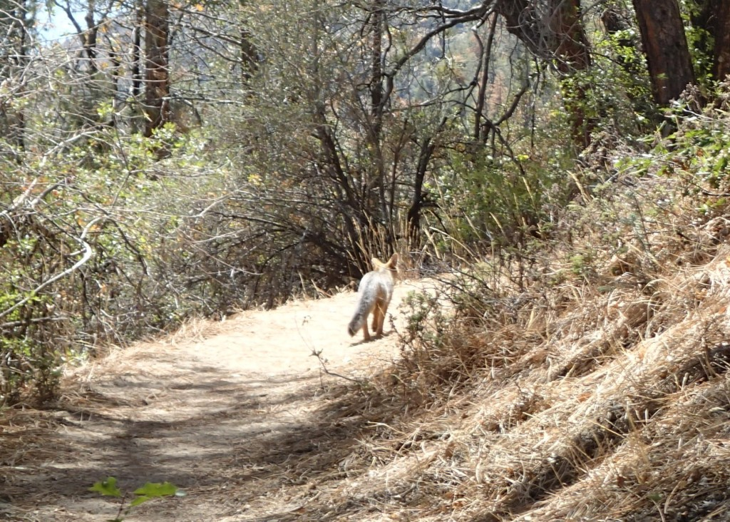 Grey Fox leading me up the trail