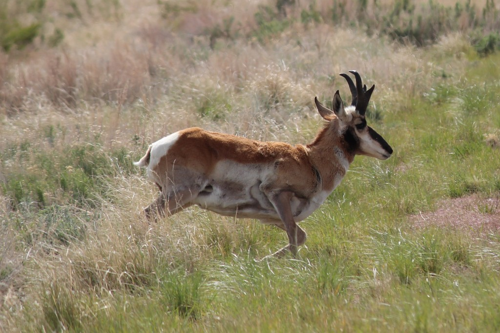 "The Pronghorn Antelope not affectionately called the ""speed goat"" is on it's way back to building numbers after being hunted to the brink for many years"