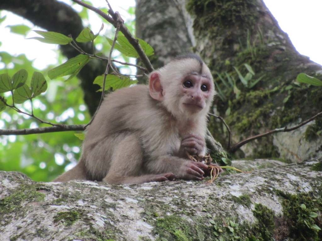 A baby Capuchin Monkey i shot while waiting for a river taxi (by pango)