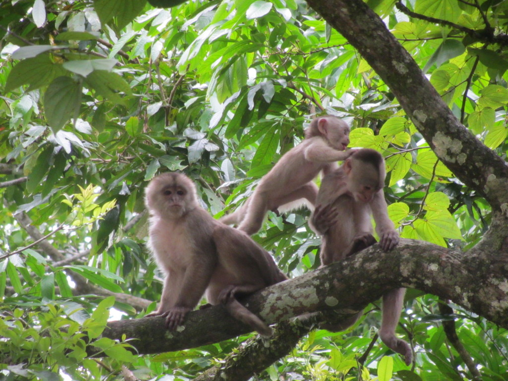 Three Capuchin Monkeys playing in the trees