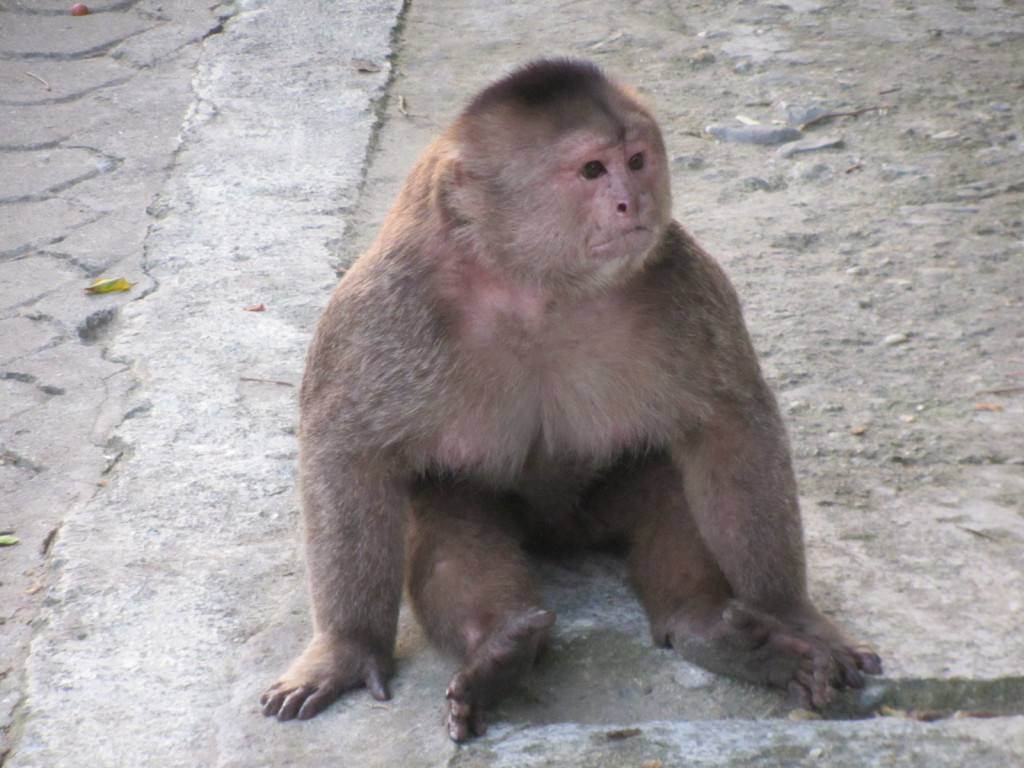 A big male Capuchin just hanging out in town